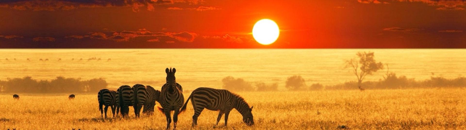 zebras in the field